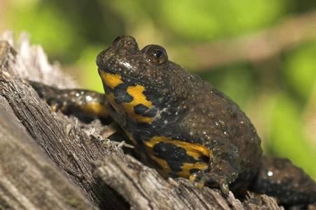 Crapaud Sonneur à ventre jaune